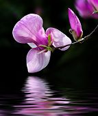 image of magnolia  - Soft focus image of blossoming magnolia flowers in spring time with water reflection - JPG