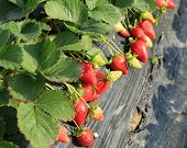 pic of strawberry plant  - strawberry plants and fruits in growth at field - JPG