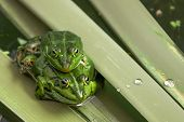 pic of copulation  - Pair frog sitting on a leaf in the mating season - JPG