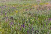 foto of purple sage  - Summer field with wild sage flowers  - JPG