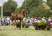 stock photo of foal  - a sporty brown foal is presented spectators at auction - JPG