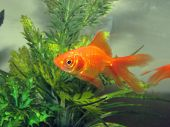 stock photo of goldfish  - a fantail goldfish swimming in a tank - JPG