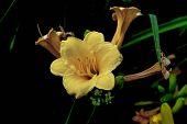 foto of bundle  - Bundle of yellow daylily or Lilium flower on black background - JPG