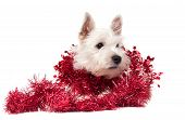picture of west highland white terrier  - West Highland White Terrier puppy on white background - JPG