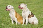stock photo of bulldog  - two American bulldogs are sittnig on the grass - JPG