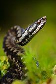 foto of european  - Common Viper prepares for a throw - JPG