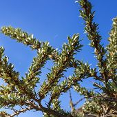 image of sea-buckthorn  - Young leaves of sea buckthorn - JPG