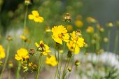 stock photo of bumble bee  - Coreopsis flower with a small bumble bee on the flower - JPG