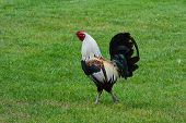 image of roosters  - A rooster strutting his colorful feathers for all to see - JPG