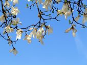 image of magnolia  - Authentic landscape magnolia flowers against the sky backlit as a backdrop for the staging of promotional songs and text - JPG