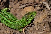 stock photo of lizards  - Dragons are back 2  - JPG