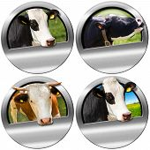 stock photo of cow head  - Four metallic round symbols or icons with space for text and heads of cows - JPG