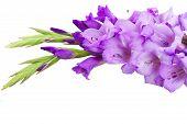 foto of gladiolus  - fresh blue  gladiolus flowers close up isolated on white background - JPG