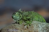 picture of lizard skin  - A large green iguana Lizard sitting on a rock - JPG