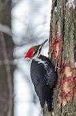 picture of woodpecker  - Pileated Woodpecker  - JPG