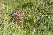 stock photo of hare  - A Brown Hare sitting in the grass - JPG