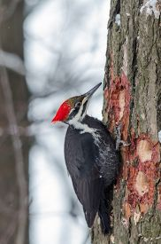 foto of woodpecker  - Pileated Woodpecker  - JPG