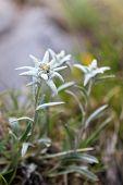 stock photo of edelweiss  - a bouquet of edelweiss near a mountain - JPG