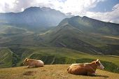 Two Cows At The Top Of Hill In Summer poster