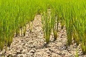 Постер, плакат: Зеленые рисовые саженцев