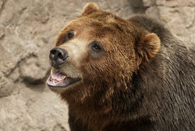 picture of grizzly bear  - Growling ferocious aggressive Grizzly Bear or Brown Bear - JPG