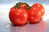 Tomato. Fresh Vine Ripened Tomatos isolated on a Silver Background with Fresh Water Drops. room for poster