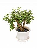 Houseplant Money Tree Crassula