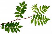 The Leaves Of Mountain Ash, Red Ash, Sorbus Aucuparia, The Rowan Set Of Leaves, Compound Leaves, Lea poster