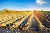 Young Leek Growing In The Field. Agriculture, Vegetables, Organic Agricultural Products, Agro-indust poster