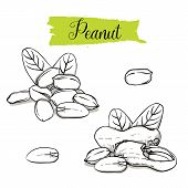 Hand Drawn Sketch Style Peanut Set. Single, Group Seeds, Peanut In Nutshells Group. Organic Nut, Vec poster