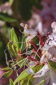 Macro Of Pink Rhododendrons, Rhododendron Ferrugineum,  In Oregon. poster