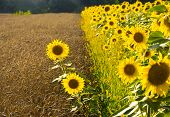 Summer Landscape With Wheat Field And Blooming Sunflowers. Gold Wheat Field. Two Sunflowers On Ripe  poster