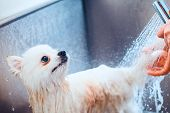 Pomeranian Dog In The Bathroom In The Beauty Salon For Dogs. Toned Image. The Concept Of Popularizin poster