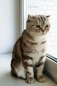 Adorable Fluffy Gray Tabby Scottish Fold Cat With Yellow Eyes Is Looking Into The Window. poster