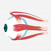 Eye Cross Muscle Icon. Cartoon Of Eye Cross Muscle Vector Icon For Web Design Isolated On White Back poster