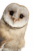 picture of owls  - Barn Owl - JPG