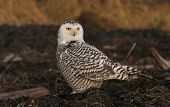 foto of hedwig  - A young snowy owl is sitting on the ground looking at a prey in the Delta wetlands in BC - JPG