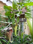 stock photo of nepenthes  - Nepenthes commonly known as Pitcher Plants in a green - JPG