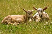 stock photo of feedlot  - two young goats sitting in a meadow - JPG