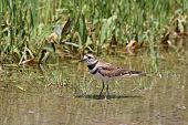 picture of killdeer  - Killdeer in a puddle of water at the side of a rural roadway left by recent rains.