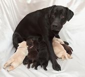 picture of bitch  - labrador retriever puppies and mom  - JPG