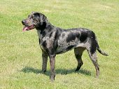 picture of catahoula  - The grey Louisiana Catahoula dog in a garden - JPG