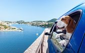 picture of blue animal  - The cute beagle travels in the blue car - JPG