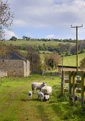 image of spring lambs  - Farm scene showing sheep and lambs - JPG