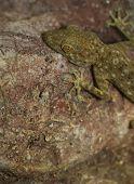 image of gekko  - fan toed gecko hanging on a stone wall  - JPG