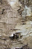 picture of birching  - natural background birch bark, motley bark birch ** Note: Visible grain at 100%, best at smaller sizes - JPG