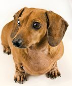 stock photo of wiener dog  - Vertical shot of a cute dachshund wiener dog staring off camera - JPG