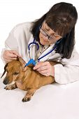 image of wiener dog  - Vertical shot of a vet checking the ears of a dachshund wiener dog - JPG