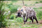 image of hyenas  - a hyena walking away from me in the wilderness - JPG
