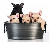 foto of wash-basin  - litter of french bulldog puppies in a wash basin on white background  - JPG